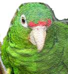 cotorra-boricua1